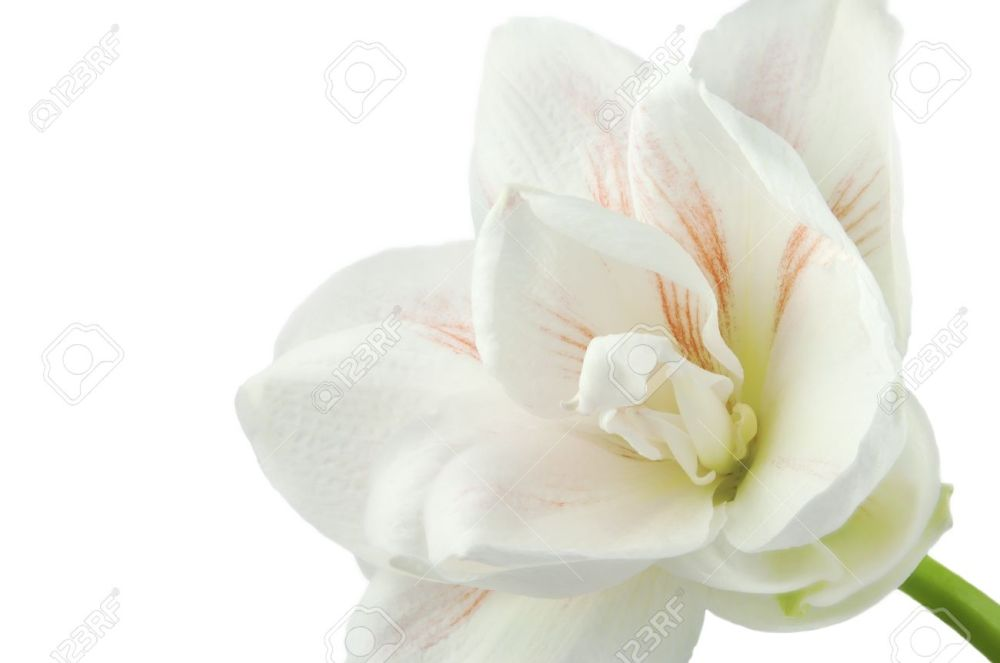 21521720-gentle-flower-of-white-and-pink-amaryllis-isolated-on-white-background-innocence-and-immature-concep-stock-photo